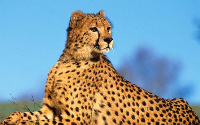 Extreme Scene Oudtshoorn Cheetah