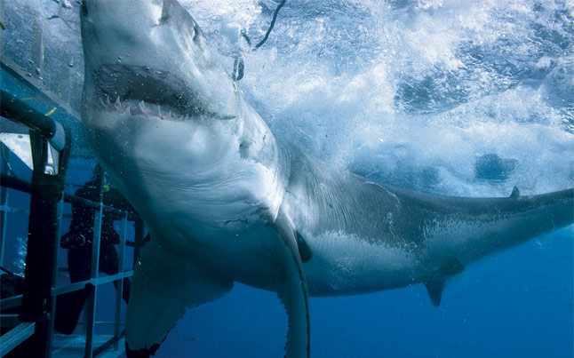 Extreme Scene Shark Cage Diving