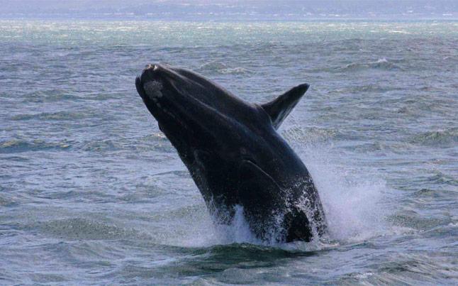 Extreme Scene Hermanus Whales